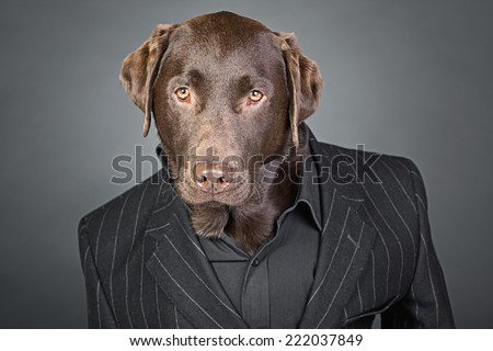 Cool Looking Chocolate Labrador in Pinstripe Suit - stock photo