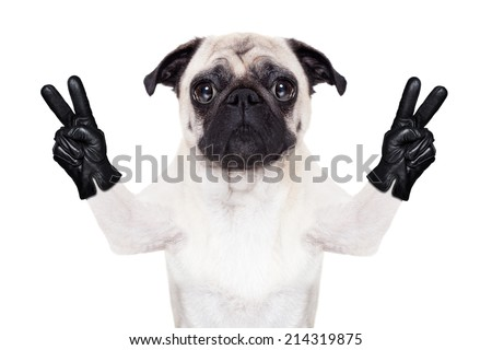 cool pug dog with victory or peace fingers wearing gloves - stock photo
