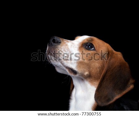 Coon Hound Looking Up Isolated on Black - stock photo