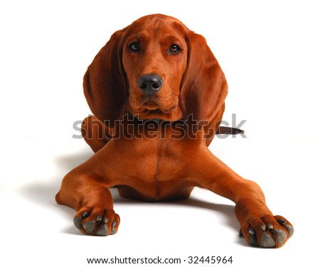 coon hound lying down looking at the camera 4 month old - stock photo