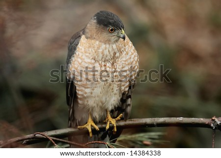 Cooperâ??s Hawk (accipiter cooperii) perched while hunting - stock photo