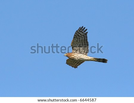 Cooper's Hawk flying - stock photo