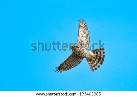 Cooper's Hawk flying overhead in the sky. - stock photo