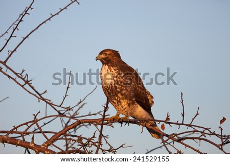 Cooper's Hawk perching on tree branches - stock photo