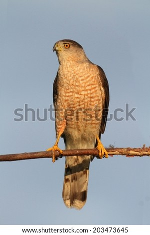 Coopers Hawk (Accipiter cooperii) in a tree with a blue background - stock photo