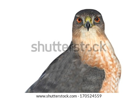 Coopers Hawk (Accipiter cooperii) - Isolated on a white background - stock photo