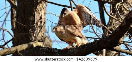 coopers hawks - stock photo