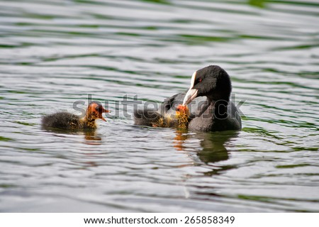 Coot feeds its Chicks - stock photo