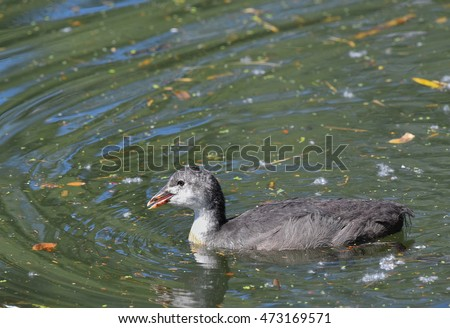 coot on the lake