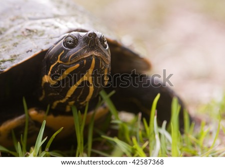 Cooter turtle walking along the ground near a Florida swamp