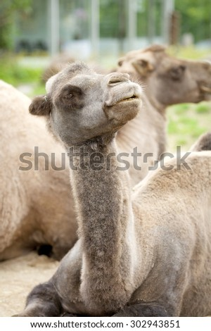 COPENHAGEN, DENMARK - July 27, 2015: Close up photo of camel head at the popular Danish tourist attraction The Copenhagen Zoological Garden welcomes visitors on July 27, 2015 in Copenhagen.