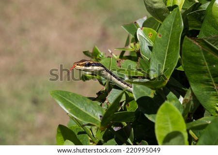 Copper head rat snake out of bush - stock photo