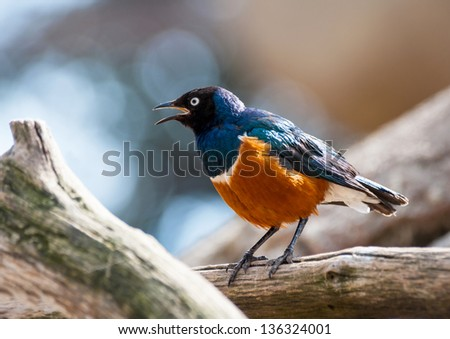 Copper Tailed Starling