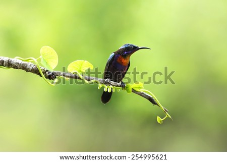 Copper-throated sunbird with green background, nature - stock photo