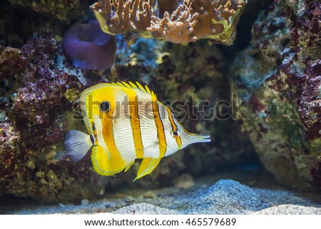Copperband Butterflyfish, also known as the Beaked Butterflyfish, Beaked Coralfish, or Orange Stripe Butterfly