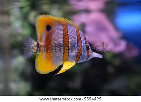 Copperband butterflyfish (Chelmon rostratus) - stock photo