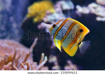 Copperband Butterflyfish (Chelmon rostratus), also commonly called the Beak Coralfish, is found in reefs in both the Pacific and Indian Oceans