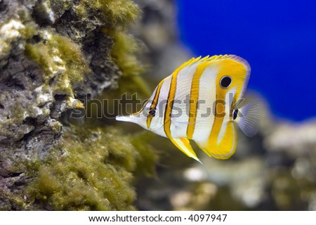 Copperband Butterflyfish (Chelmon rostratus) in a reef - stock photo