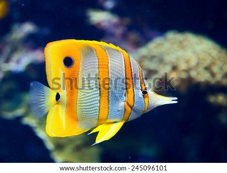 Copperbanded butterflyfish - stock photo