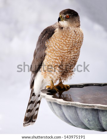 Coppers Hawk - stock photo