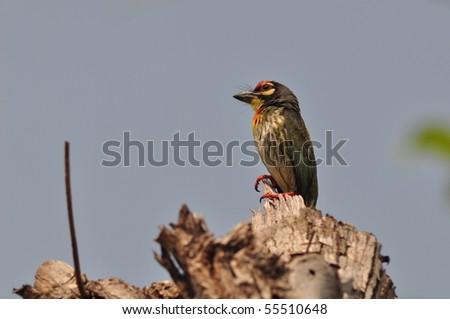 coppersmith barbet bird - stock photo