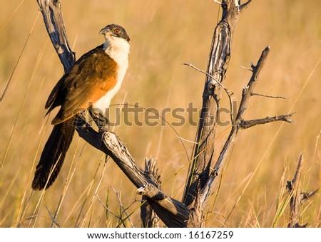 Coppery-tailed Coucal (Centropus cupreicaudus) - stock photo
