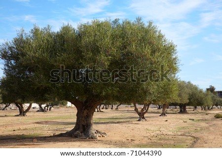 Coppice of olive trees in Tunisia - stock photo