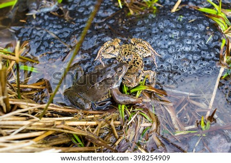 Copulation of the frog and frog spawn in pond - stock photo
