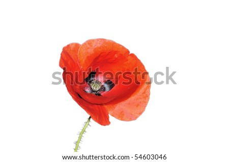 Coquelicot isolated on a white background - stock photo