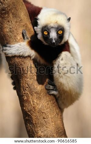 Coquerel's Sifaka (Lemur) - stock photo