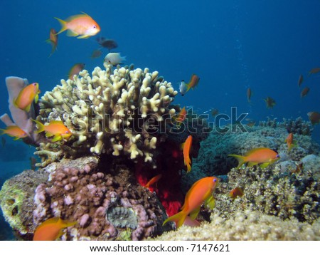 Coral and Anthias. shot in the Red Sea - stock photo
