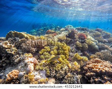 Coral and fish in the Red Sea. In front is Klunzinger's Wrasse (Thalassoma rueppellii)Also known as Lunate-tailed Wrasses, in background coral garden and blue sea with other coral fish. Safaga, Egypt. - stock photo