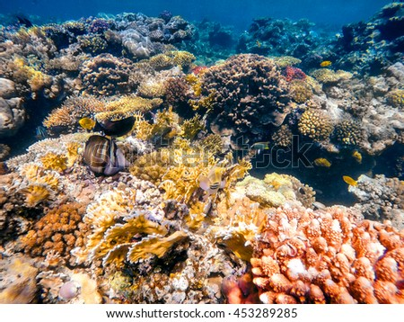 Coral and fish in the Red Sea. In front stripped butterfly fish, in background coral garden and sea with other coral fish. Safaga, Egypt. - stock photo