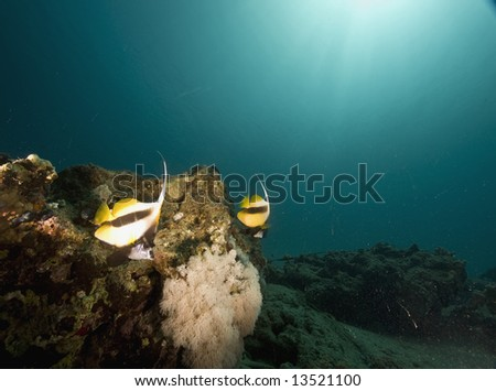 coral, bannerfish and ocean - stock photo