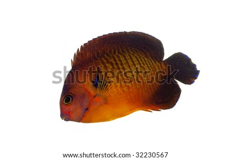 Coral Beauty Angelfish (Centropyge bispinosus) isolated on white background.