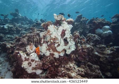 Looking Straight Fromia Monilis Starfish Stock Photo