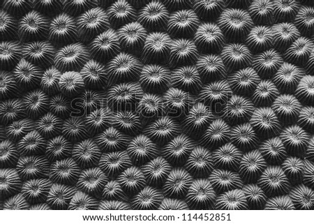 Coral close up in black and white showing intricate details. - stock photo
