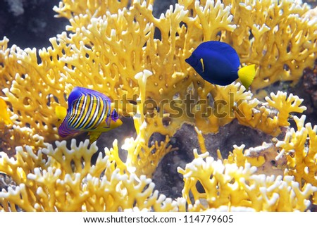Coral Cnidarians,Angel-fish and Zebrasoma yellowtail in the Red Sea.Egypt - stock photo