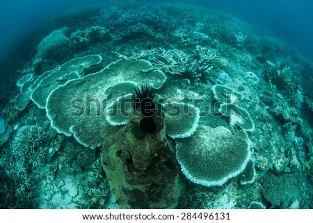 Coral colonies (Acropora sp,) have begun to bleach on a coral reef in Buyat Bay, Sulawesi, Indonesia. The corals are stressed by warm water temperatures and have expelled their symbiotic algae. - stock photo