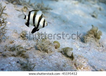 Coral fish Chrysiptera Annulatal nearby a bottom of the Red sea - stock photo