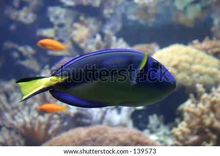 Coral fish in Lisbon Oceanarium - stock photo