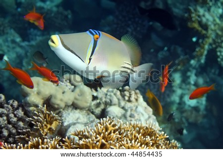 Coral fish Rhinecanthus Assasi with red fishes - stock photo