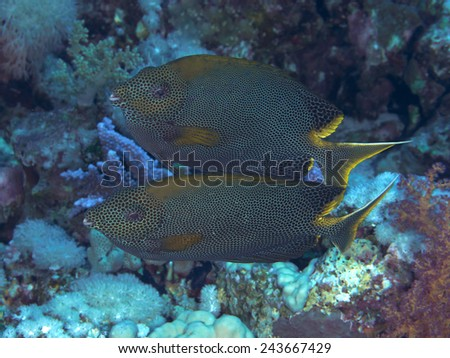 Coral fish Stellate rabbitfish in red sea - stock photo