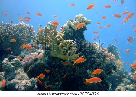 Coral fishes Pseudanthias squamiphinnis in the Red Sea - stock photo