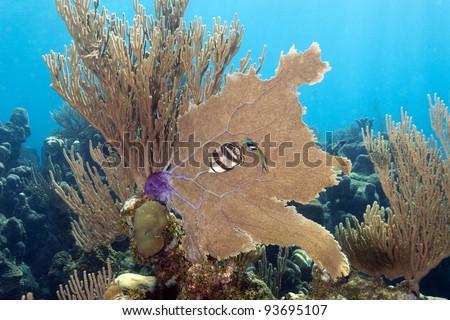 Coral gardens off the coast of Roatan Honduras banded butterflyfish (Chaetodon striatus) - stock photo