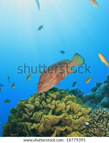 Coral Grouper