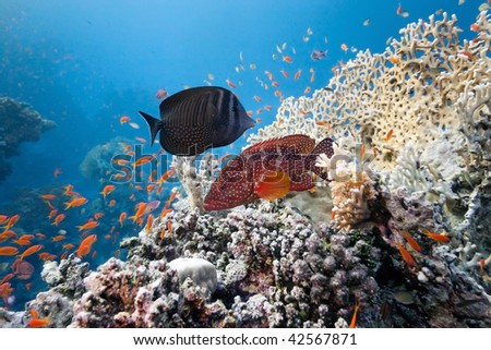 Coral grouper and  sailfin tang on the coral reef - stock photo