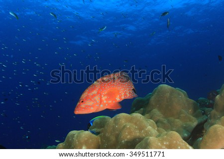 Coral Grouper fish on underwater reef - stock photo
