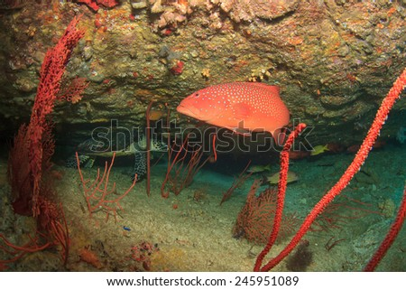 Coral Grouper fish with Turtle behind - stock photo