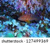 coral grouper on the coral reef - stock photo